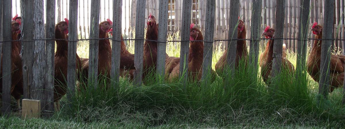 Poules curieuses_Curious Hens_S