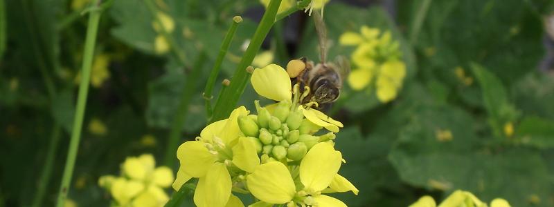 Abeille au travail_Busy as a bee_S